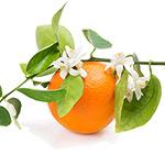 Apelsinblomma